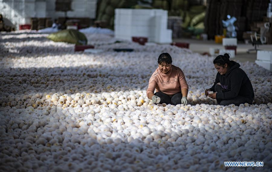Pepino Melon Planting Industry Helps Poverty-Stricken Households Increase Income in Yunnan