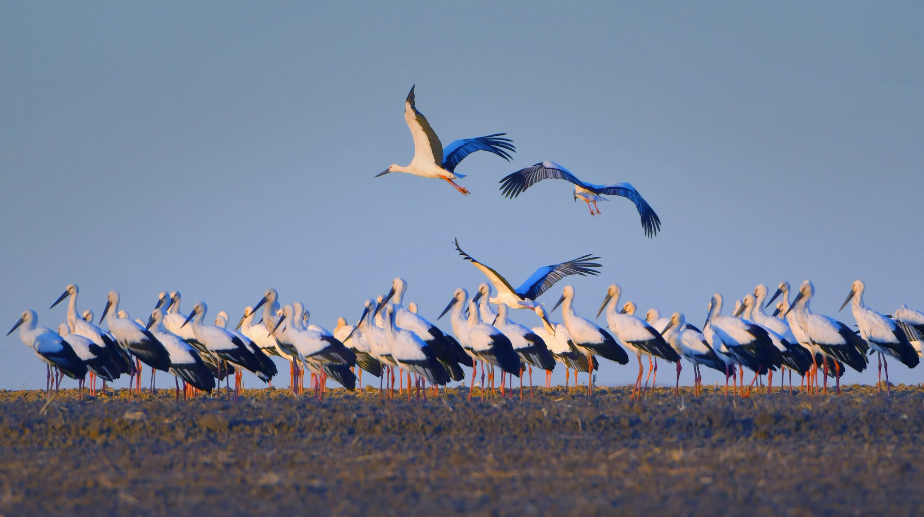 Large flock of endangered storks spotted around China-Russia border lake - Xinhua | English.news.cn