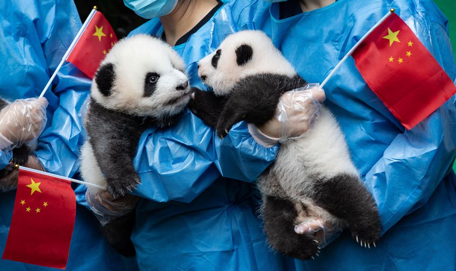 Research Base Local Gov T To Jointly Work On Giant Panda Wild Training Xinhua English News Cn