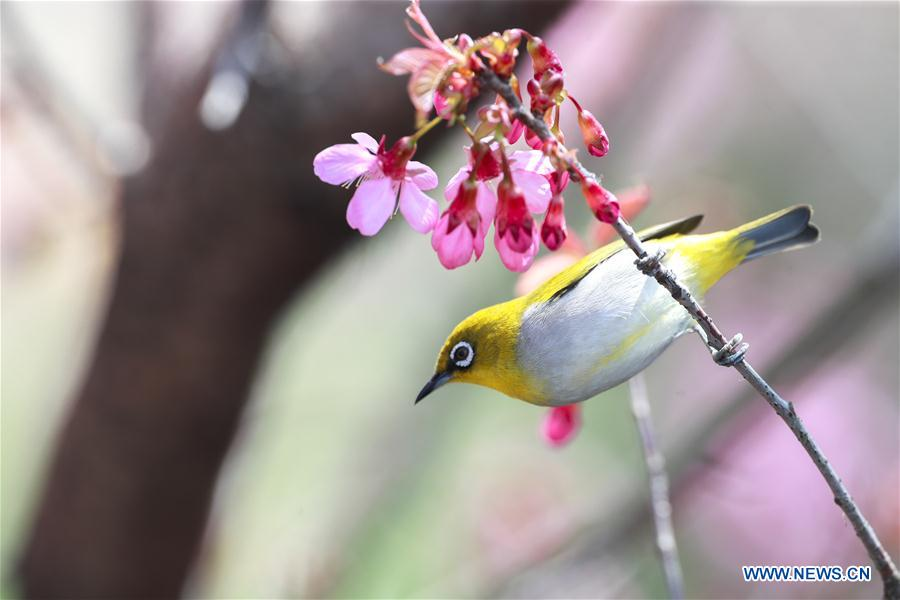 CHINA-GUIZHOU-GUIYANG-WHITE-EYE-BIRD (CN)