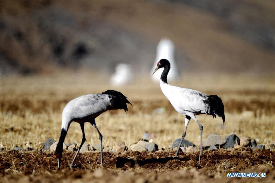 中国-西藏-拉萨-黑领鹤(CN)