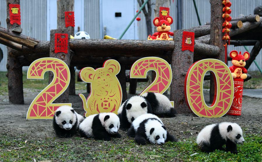 20 panda cubs send Chinese New Year greetings in SW China - Xinhua | English.news.cn