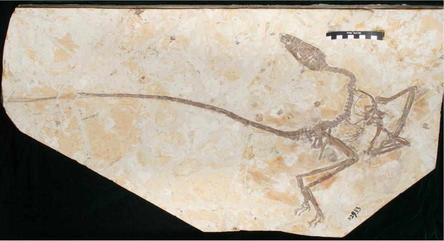 "New dinosaur species ""dancing dragon"" identified in China - Xinhua | English.news.cn"
