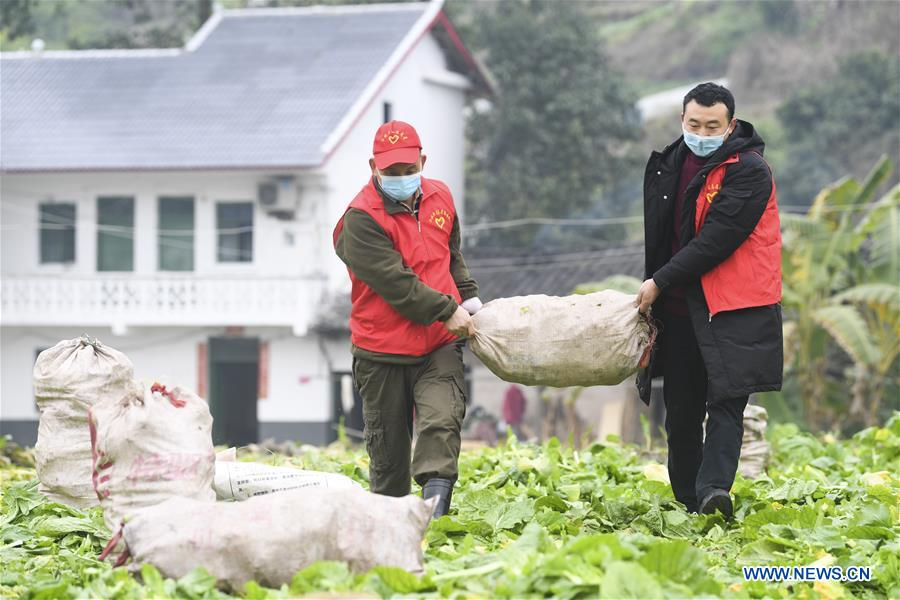 CHINA-CHONGQING-NCP-VOLUNTEER SERVICE-HARVEST (CN)