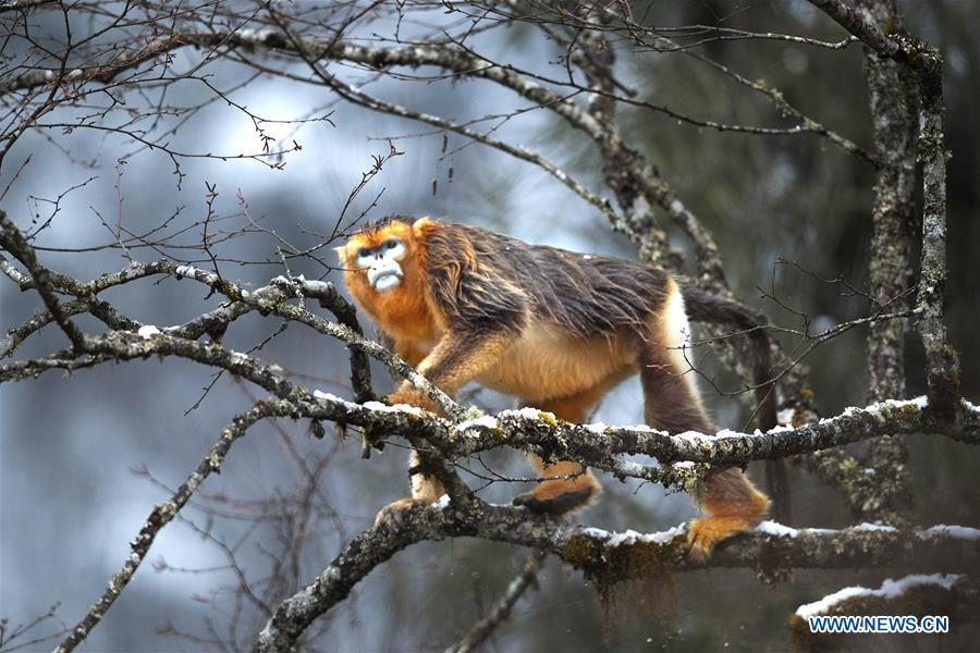 CHINA-SICHUAN-BAOXING COUNTY-GOLDEN SNUB-NOSED MONKEY (CN)