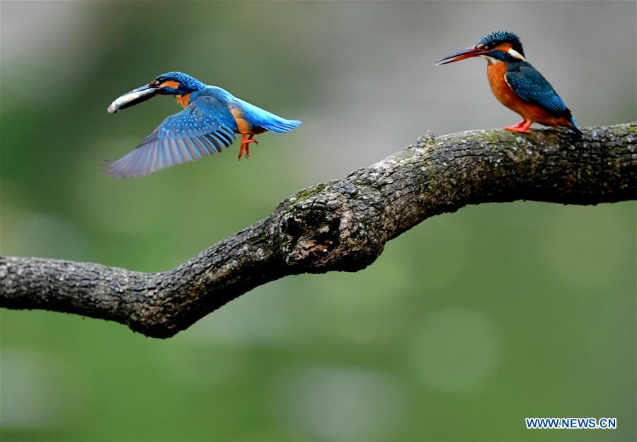 CHINA-FUJIAN-SPRING-KINGFISHERS (CN)