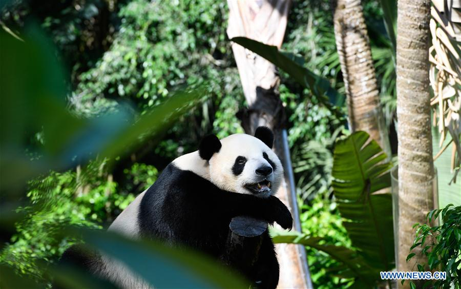 CHINA-HAINAN-HAIKOU-GIANT PANDAS-CHILDREN'S DAY (CN)
