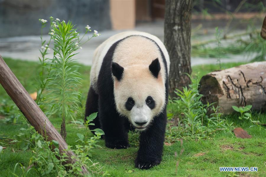 CHINA-HUNAN-XIANGXI-GIANT PANDA-GARDEN-OPENING (CN)