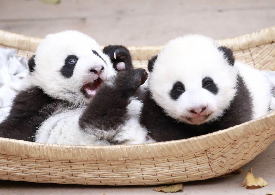 Twin giant panda cubs die of multiple organ failure in China - Xinhua | English.news.cn