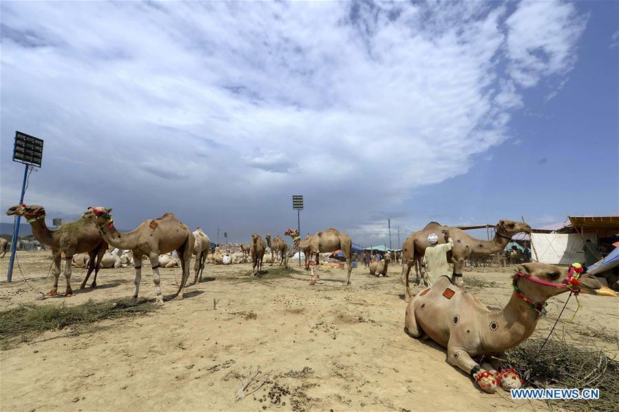 巴基斯坦-RAWALPINDI-EID-AL-ADHA-CAMELS