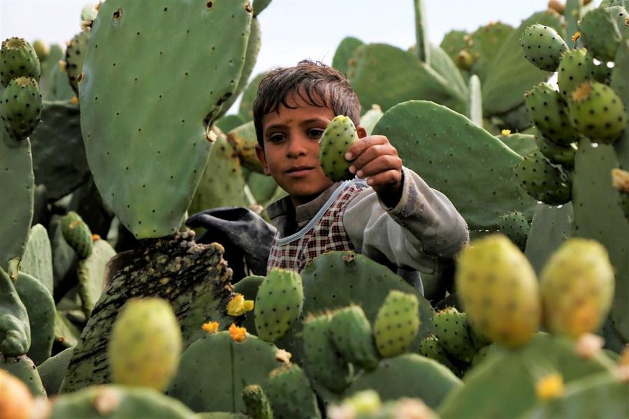 Prickly pear fruit in Yemen provides livelihoods despite war, blockade - Xinhua | English.news.cn