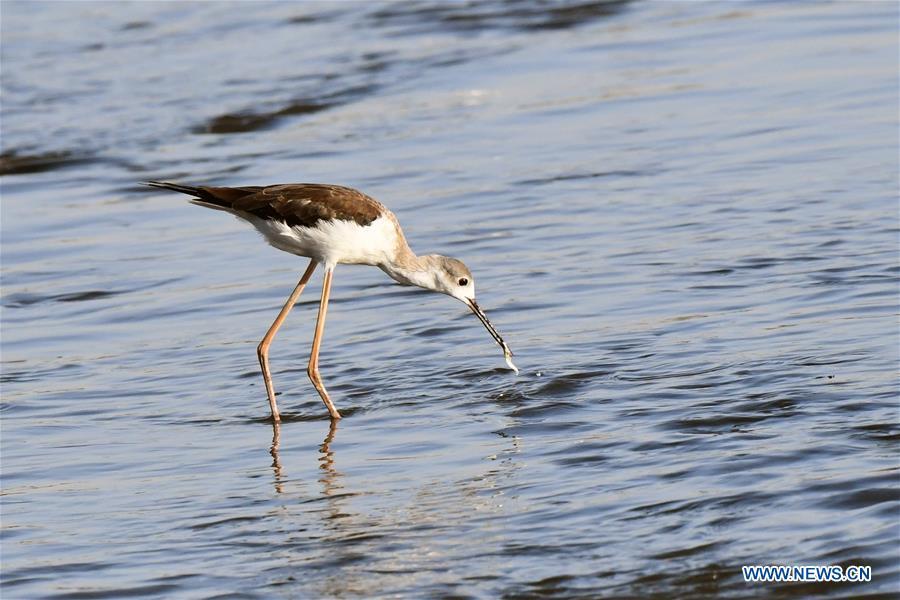 KUWAIT-KUWAIT CITY-BIRDS