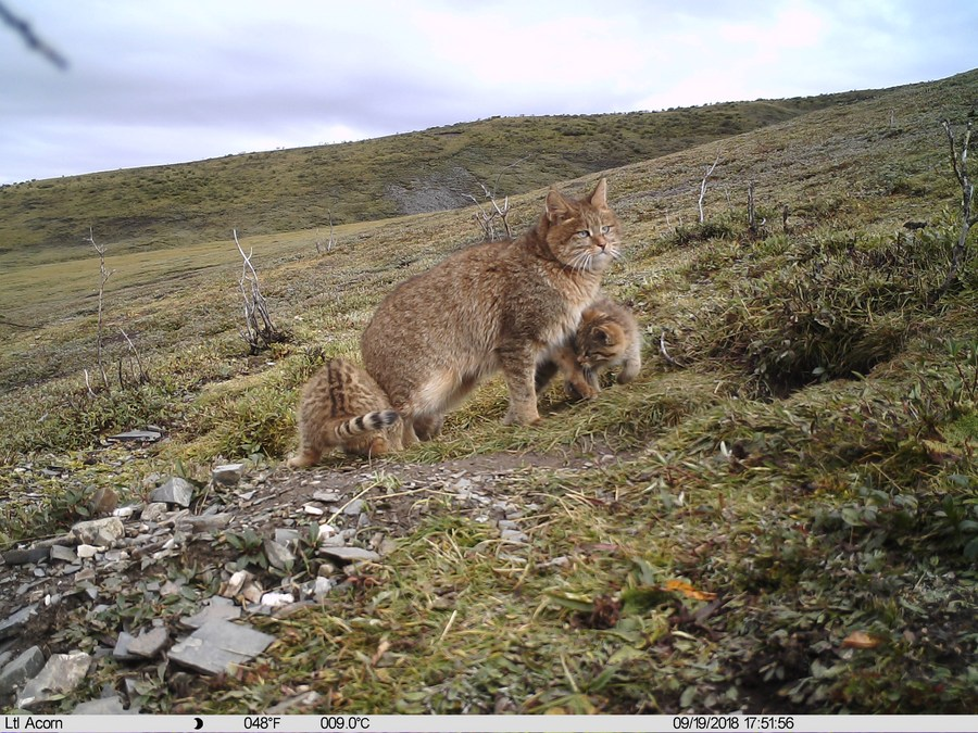 Rare cats spotted in NW China  - Xinhua | English.news.cn