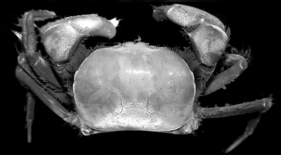 Indonesia discovers 2 new crab species in Papua - Xinhua | English.news.cn