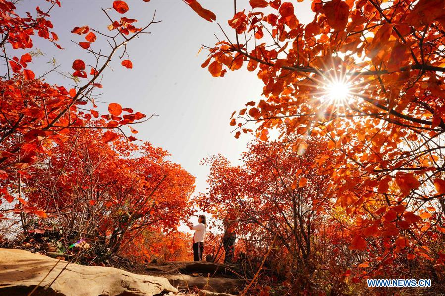 CHINA-HEBEI-RED LEAVES-SCENERY (CN)