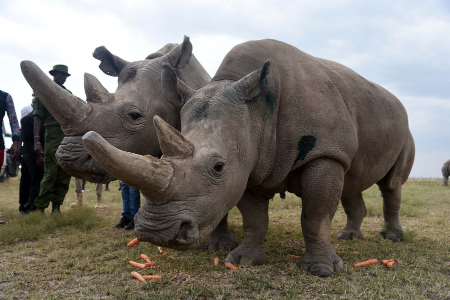 (Hello Africa) Kenya says 3 northern white rhino embryos created to save iconic species - Xinhua   English.news.cn