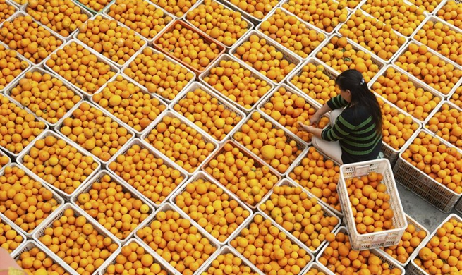 People pick navel oranges in Zigui, central China's Hubei