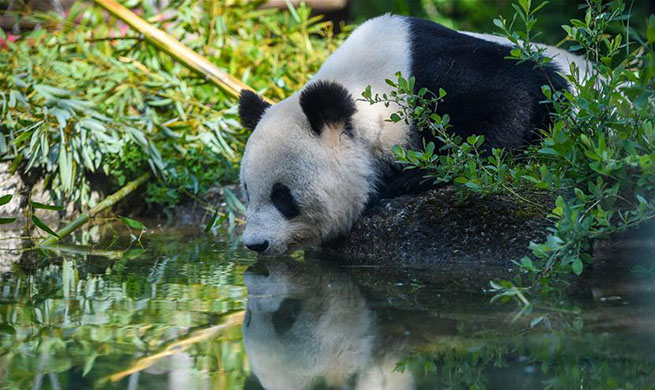 Giant Panda Yang Yang seen at Schonbrunn Zoo in Vienna