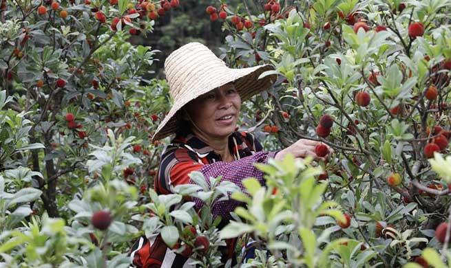Chinese bayberries enter harvest season in China's Guangxi, Guizhou