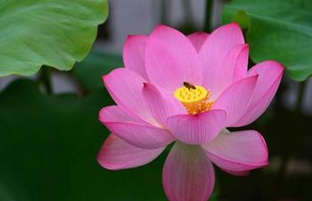 Blooming lotus flowers in summer