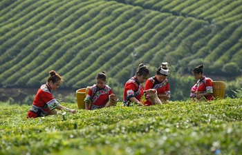 Workers pick tea leaves in southwest China's Guizhou
