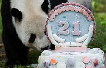 Giant panda Tian Tian celebrates 21st birthday in U.S.