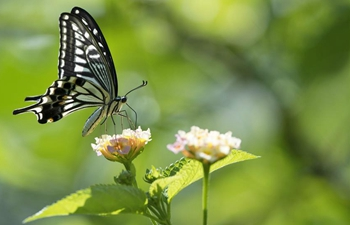 In pics: butterflies lingering over flowers