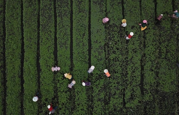 Farmers work at vegetable planting base in Haizi Village, SW China's Guizhou