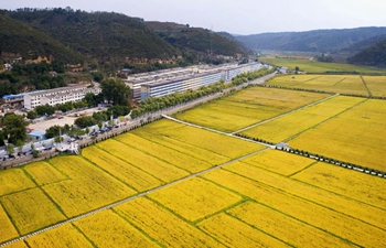 In pics: rice fields in Yan'an, NW China's Shaanxi