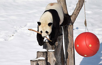 Giant panda plays outdoors after snowfall in NE China