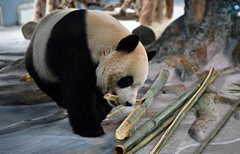 Giant pandas from Sichuan make public debut in Hainan