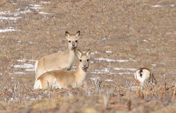 In pics: Tibetan gazelles on grassland in China's Qinghai