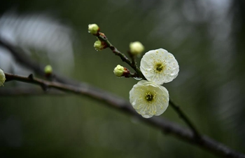 Plum flowers in full blossom in central China's Hubei