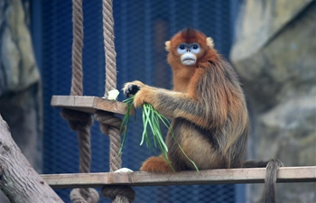 Three golden snub-nosed monkeys meet public at Chongqing Zoo