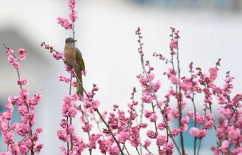 People enjoy scenery of plum flowers in parts of China
