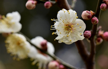 Plum blossoms in east China's Shangdong