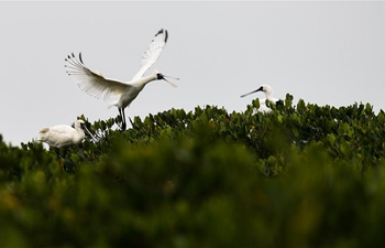 In pics: spoonbills in south China's Hainan