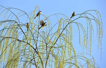 Willow trees bud across China