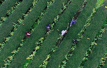 Farmers busy harvesting spring tea in China's Jiangxi, Fujian