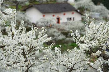 Plum blossoms seen in central China's Hubei