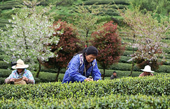 Farmers busy harvesting tea leaves ahead of Qingming Festival in China's Guizhou