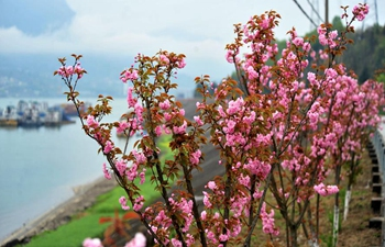 In pics: blooming cherry blossoms along Xiling Gorge on Yangtze River