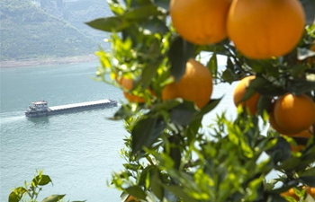 In pics: navel orange trees in Zigui County, central China's Hubei