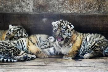 Over 20 cubs born in 2019 at Siberian tiger breeding center in China's Heilongjiang