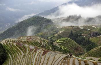Scenery of terraced rice field of Longji in Longsheng, S China's Guangxi
