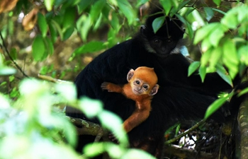 Number of Francois' langurs increases in Mayanghe National Nature Reserve of Guizhou