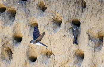 In pics: bank swallows rest in nests