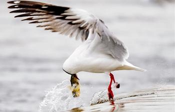Qinghai Lake greets migration peak of naked carp