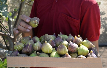 Figs harvested in Gaza City
