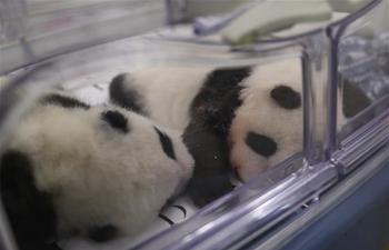 In pics: giant pandas at Pairi Daiza zoo in Belgium